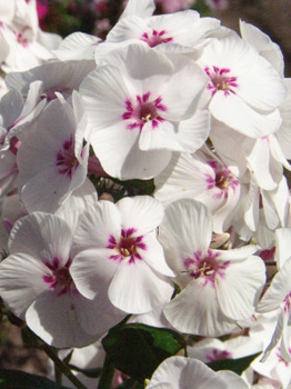 Phlox Mike's Favourite NEW