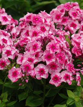 Phlox Stars and Stripes NEW